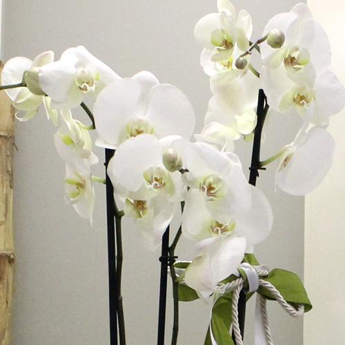 Kadehte 3 Dallý Orkide