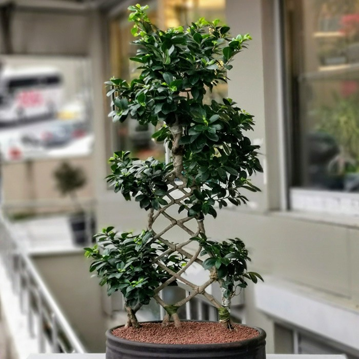 Ficus Ginseng Bonsai - Örgülü