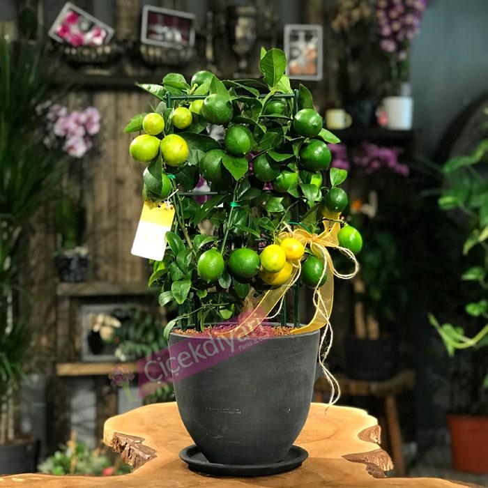 Limon Aðacý