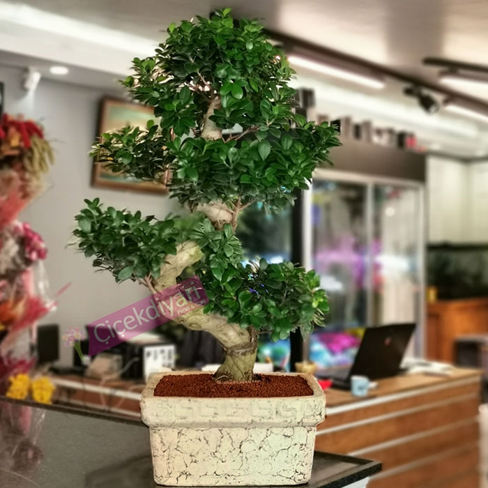 Ginseng Bonsai