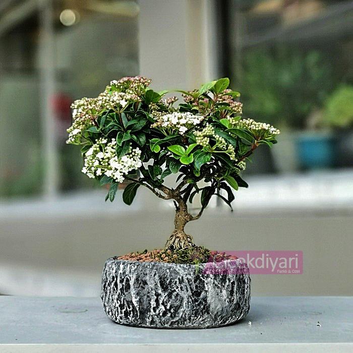 Viburnum Tinus Bonsai