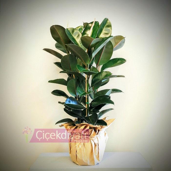 Ficus Elestica - Kauçuk