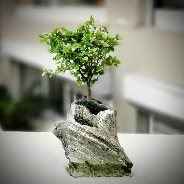 Kayada Bonsai
