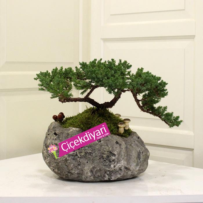Juniperus Nana Bonsai