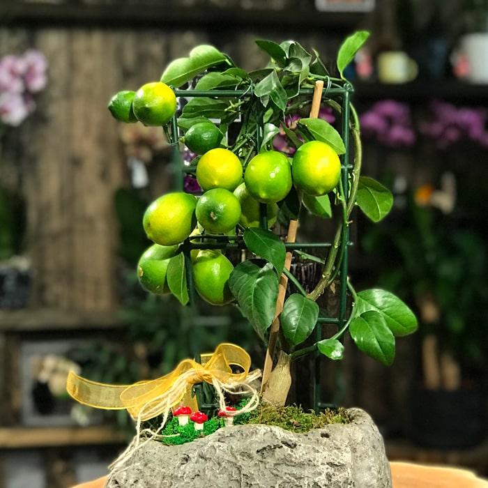 Kayada Limon Aðacý