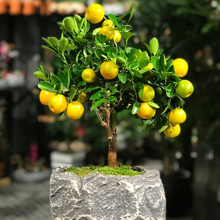 Citrus Bonsai
