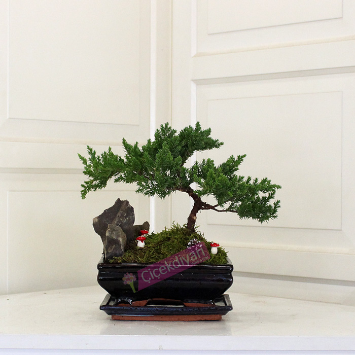 Kayalı Juniperus Bonsai
