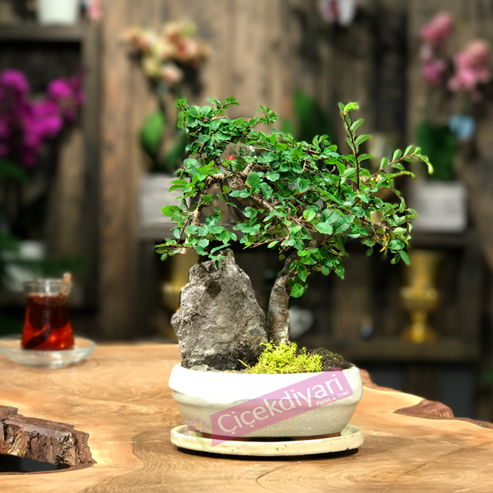 Kayalý Zelkova Bonsai