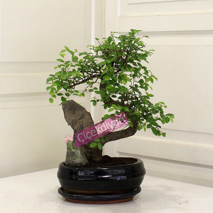 Kayalı Zelkova Bonsai