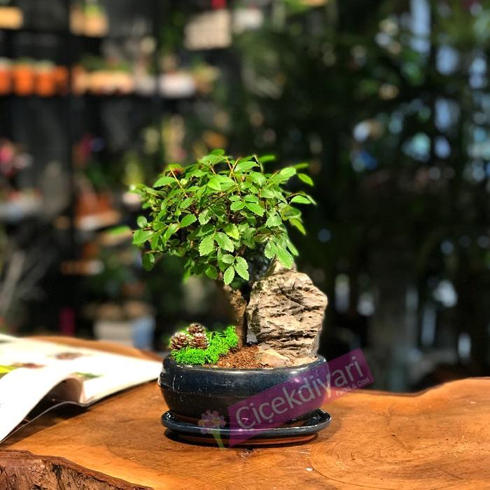 Küçük Kayalý Bonsai