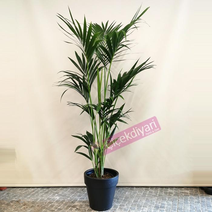 Howea Forsteriana (Kentia)