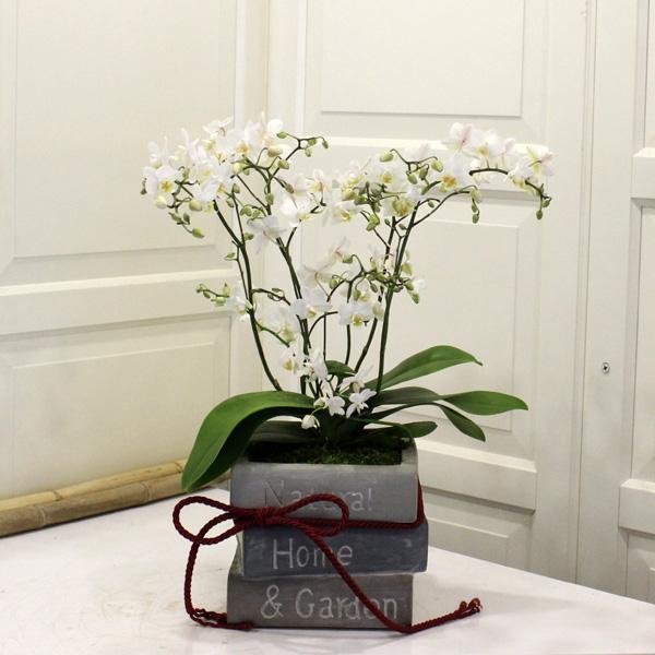 Çýlgýn Orkide (wild)
