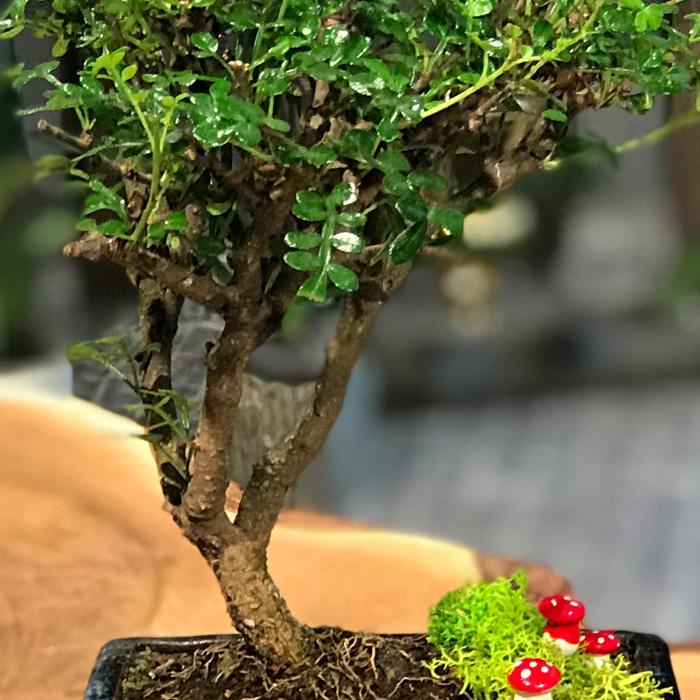 Zanthoxylum Piperitum (japon Biberi)