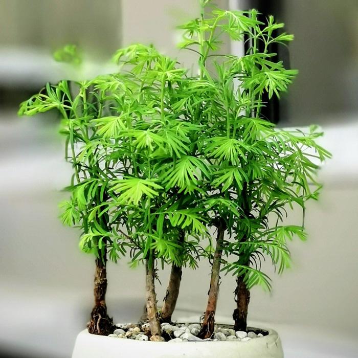 Küçük larex bonsai