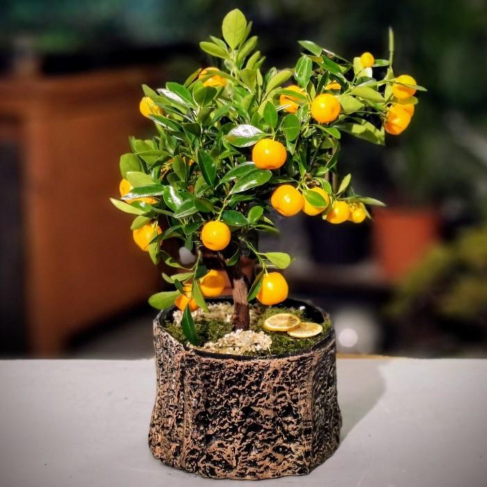 Minyatür Mandalina Citrus