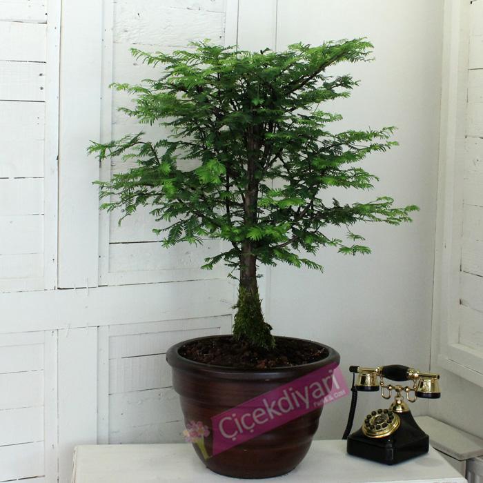 Larex Ağacı