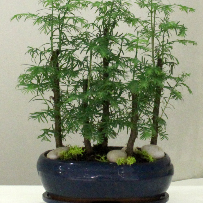 Larex Bonsai (5li)