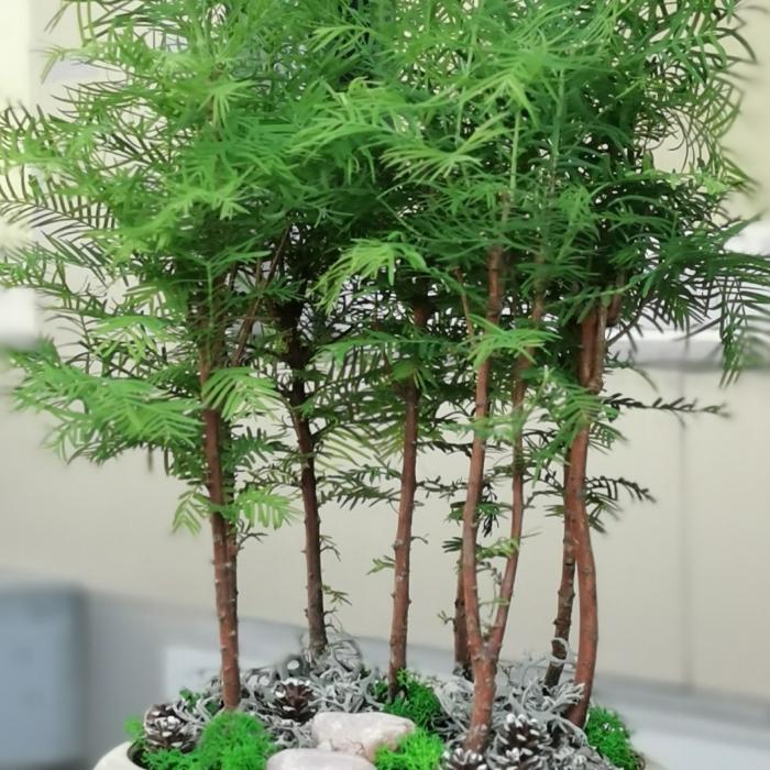 larex bonsai 8 köklü
