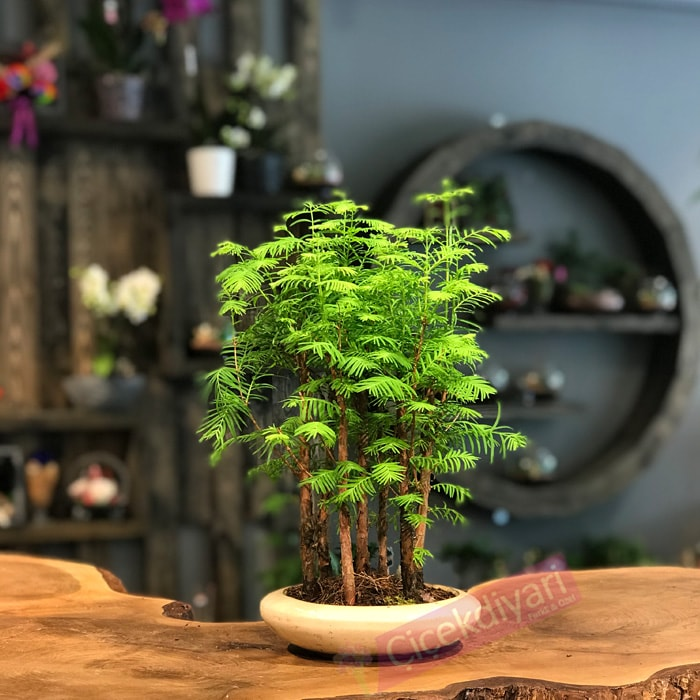 Larex Bonsai