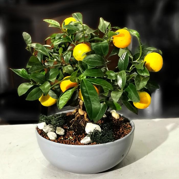Leila - Misket Limonu