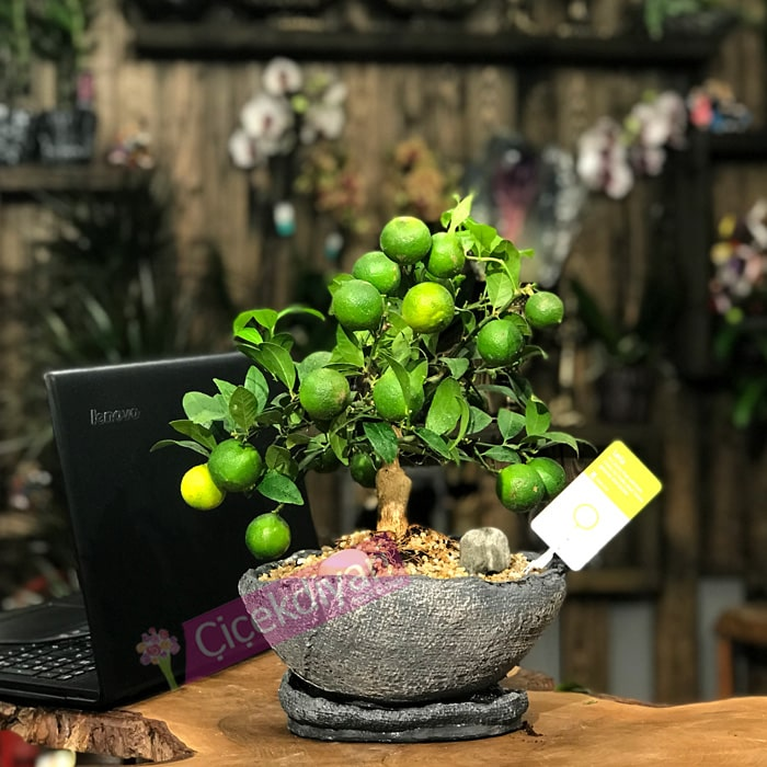 lemon citrina bonsai