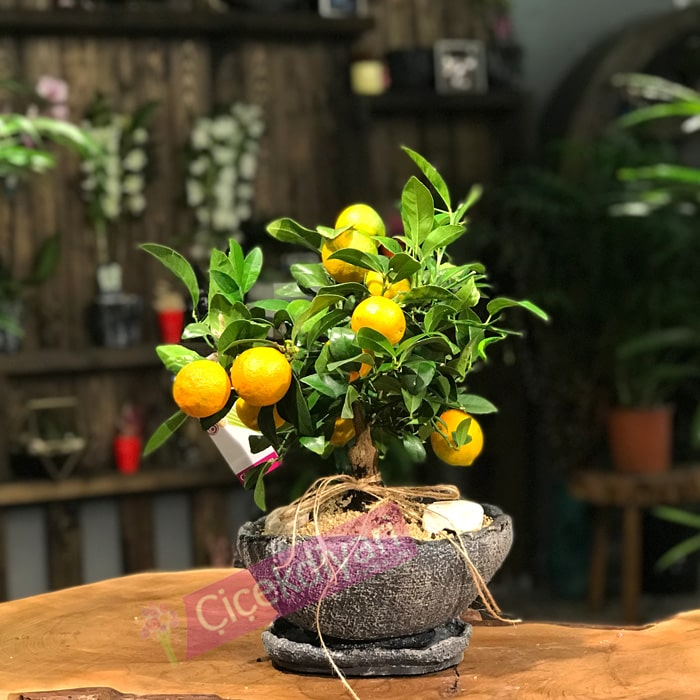 Citrina Bonsai