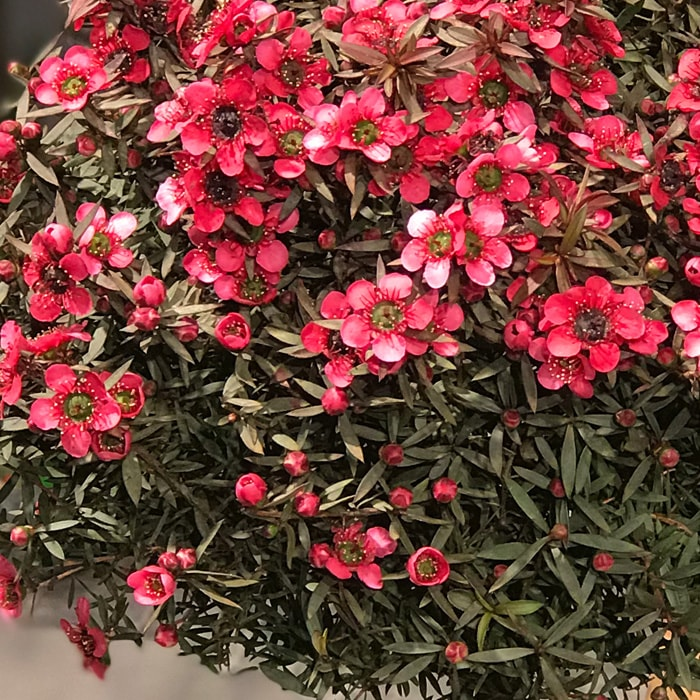 Leptospermum Scoparium Bonsai