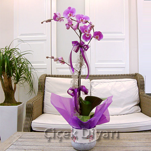 Tekli Pembe Orkide