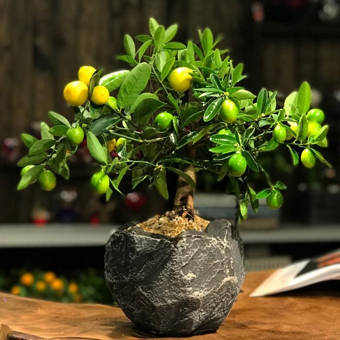 Limequat Bonsai