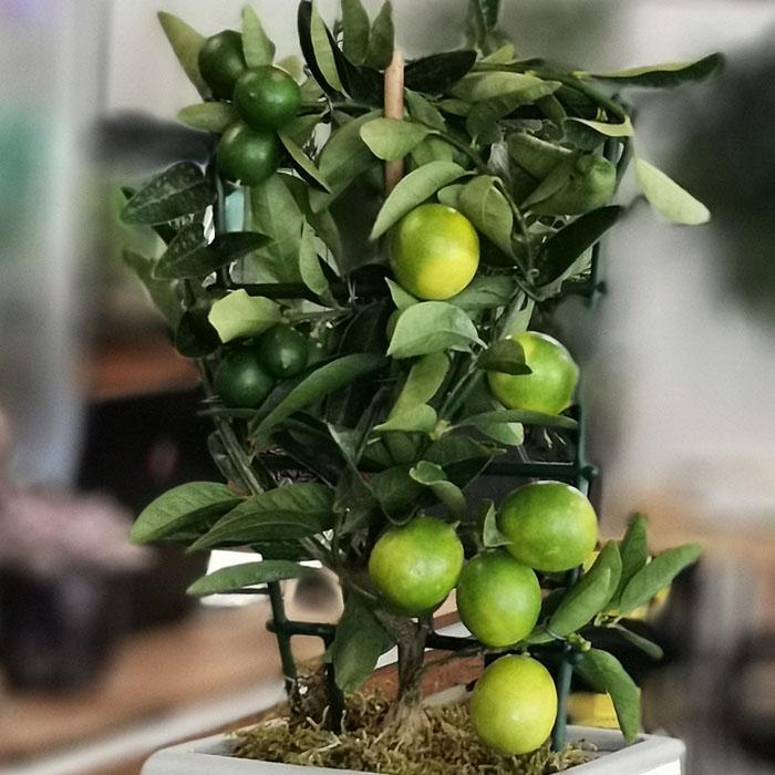 Kitapta Limon Aðacý
