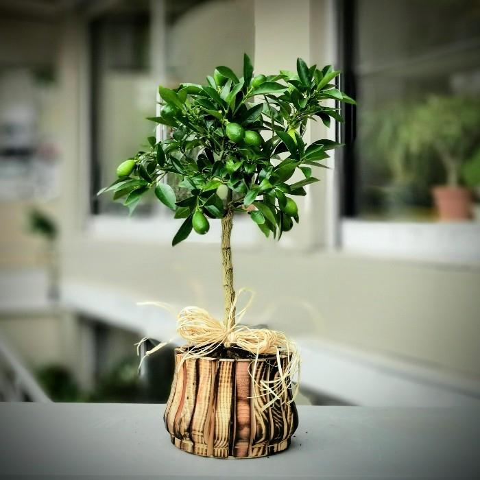 Limekuat  - lara Limonella