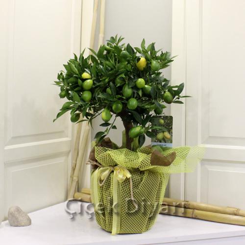 Limequat Aðacý