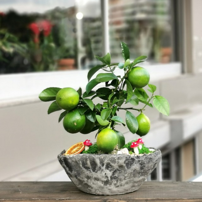 Minyatür Limon Bonsai
