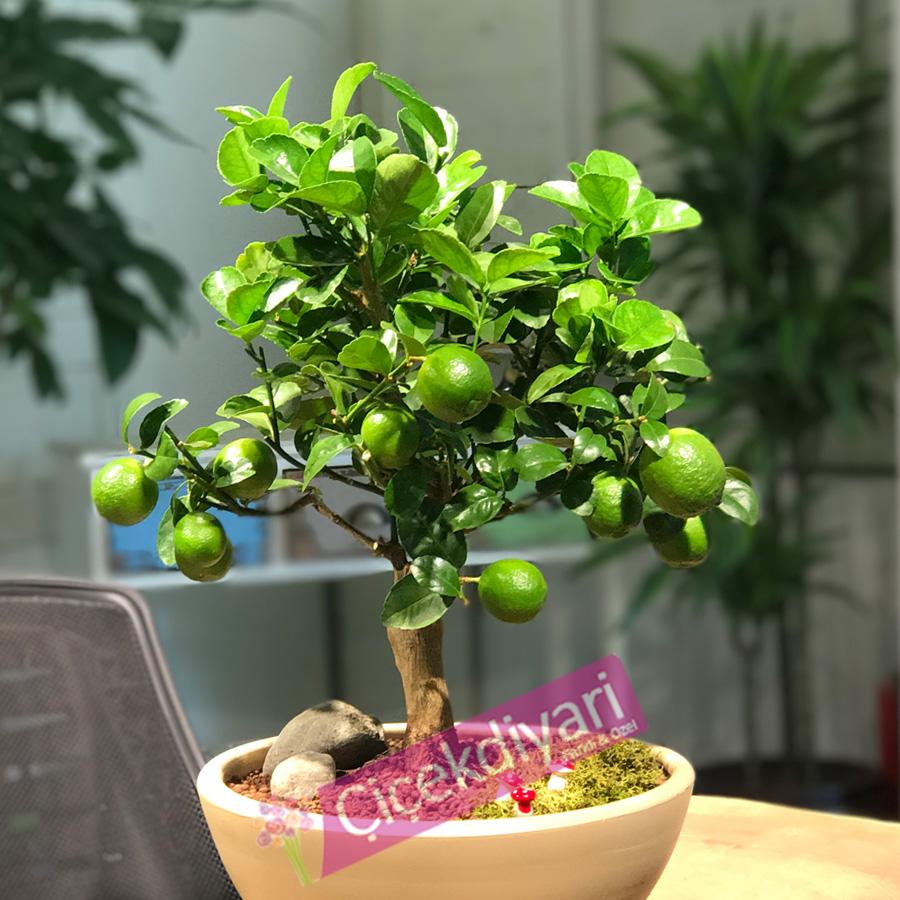 Limon Bonsai