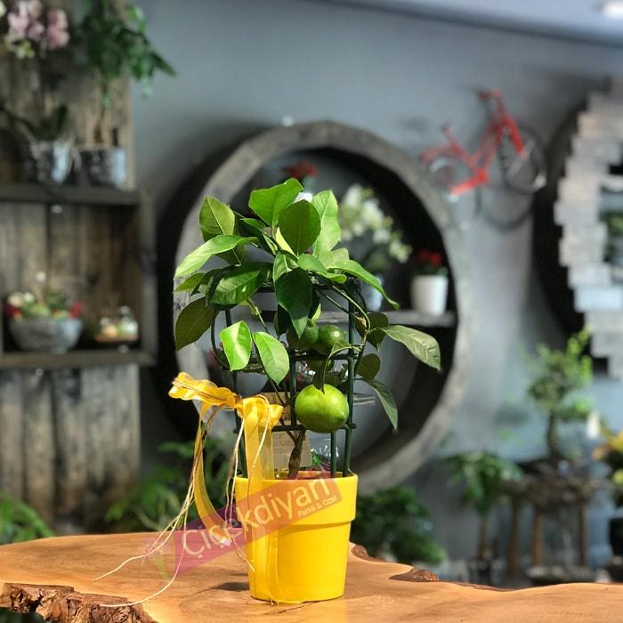 Minik Limon Aðacý