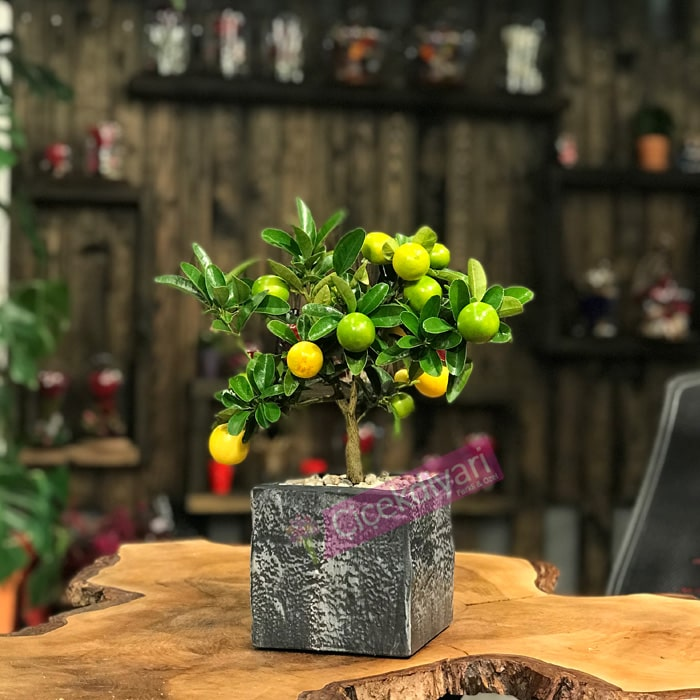 Limekuat Bonsai