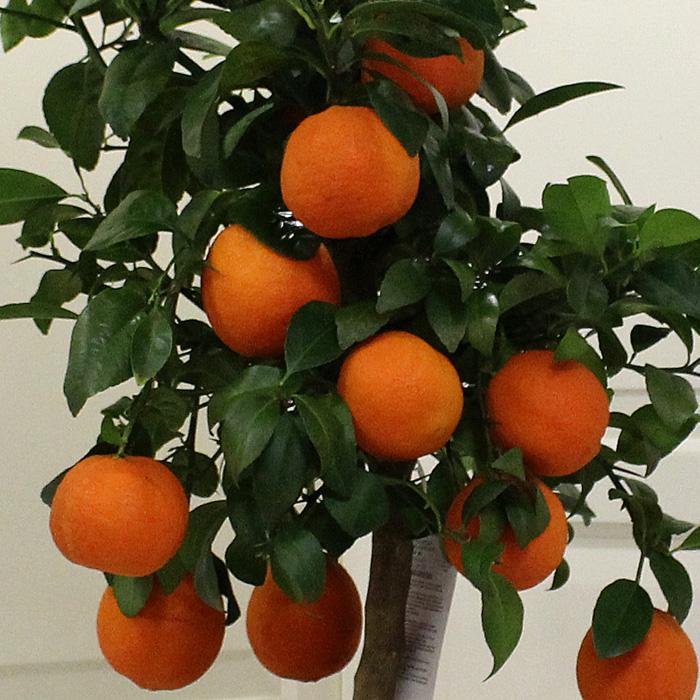 Citrus Limonia