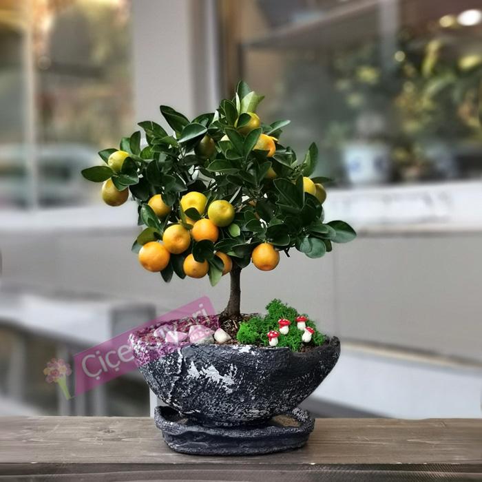 Mandalina Bonsai