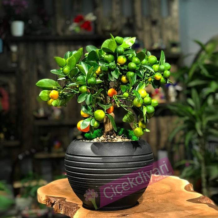 Mandalina Citrus