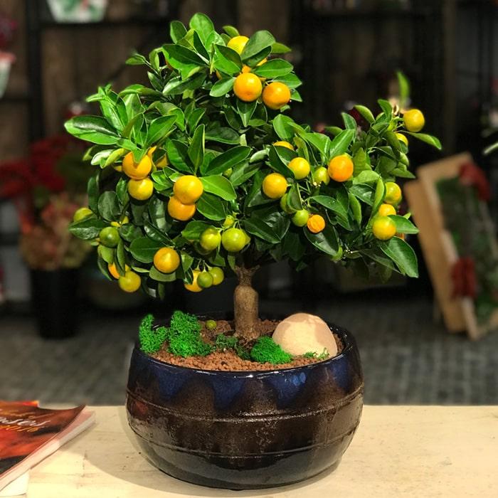 Mandalina Citrus Bonsai