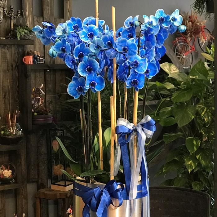Mavi orkideler