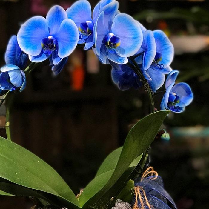 Mavi Mirror Miracle Orkide