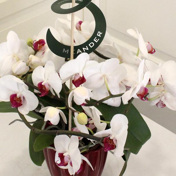 Meander (Sarmaþýk) Orkide
