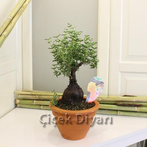 Kaktüs Bonsai