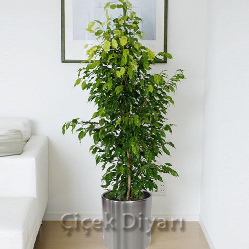 Ficus benjamin i ek i ficus benjamin i ek g nder for Salon cicekleri yapay