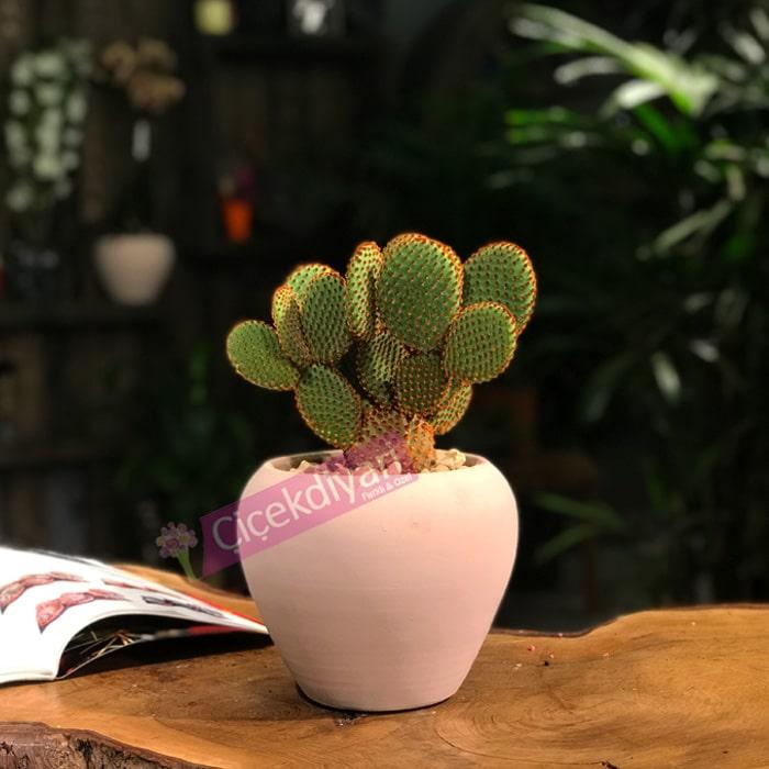 Opuntiacactus Microdasys Kaktüs