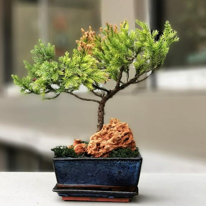 Kayalý Juniperus Bonsai