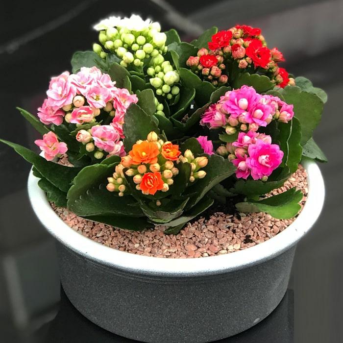 Mini Kalanchoeler