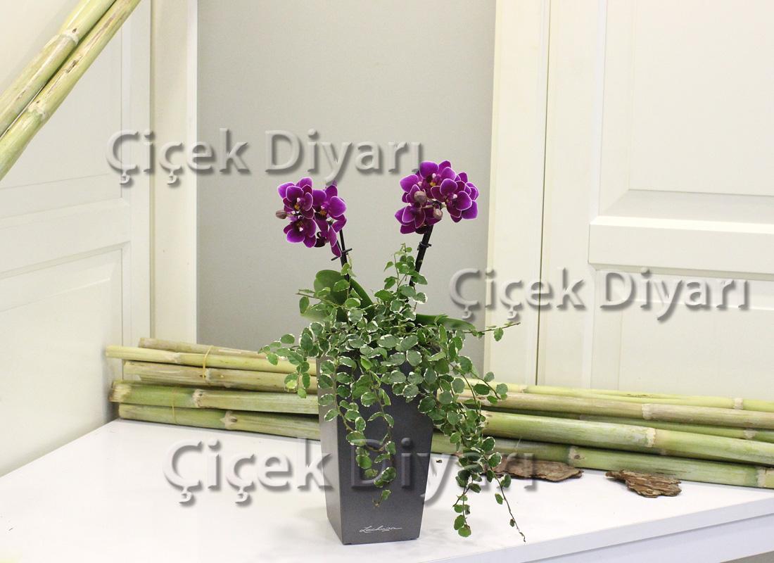 Hedera ve Mini Orkide