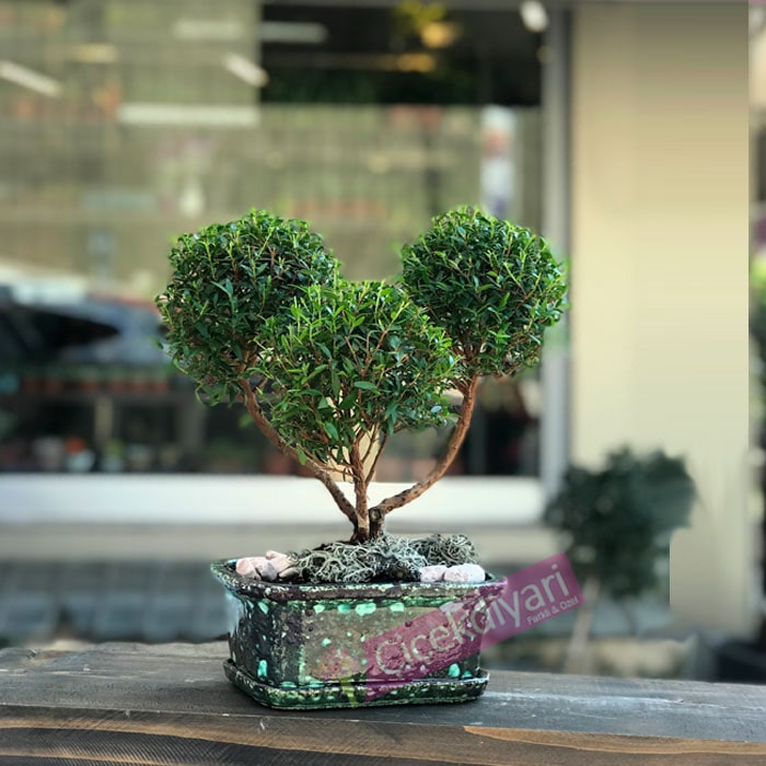 Myrtus Bonsai